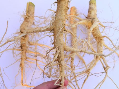 Dried Hemp roots - industrial hemp root - dry cannabis root - Hanfwurzeln - Hanfwurzel -radice di canapa - racine de chanvre