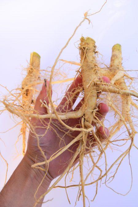 Dried Hemp roots - industrial hemp root - dry cannabis root - Hanfwurzeln - Hanfwurzel -radice di canapa - racine de chanvre
